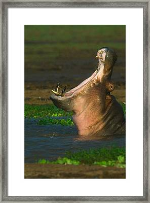Close-up Of A Hippopotamus Yawning Framed Print by Panoramic Images