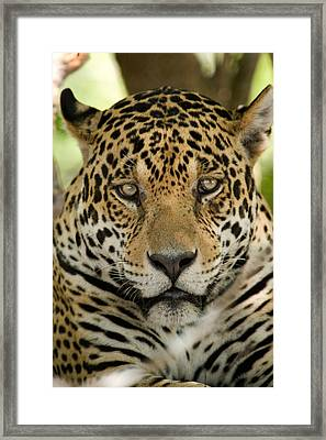 Close-up Of A Jaguar Panthera Onca Framed Print