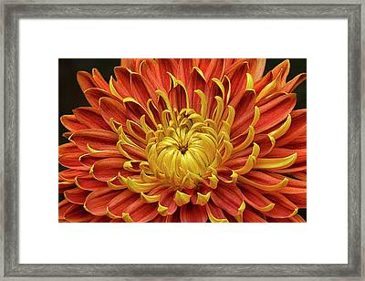 Close-up Of A Japanese Fall-flowering Framed Print