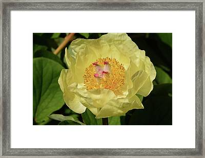 Close Up Of A Japanese Woodland Peony Framed Print by Darlyne A. Murawski
