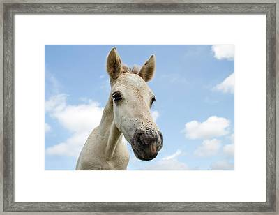 Close Up Of A Konik Horse Foal  Framed Print by Roeselien Raimond