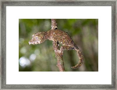 Close-up Of A Leaf-tailed Gecko Framed Print by Panoramic Images
