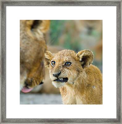 Close-up Of A Lion Cub, Ngorongoro Framed Print by Panoramic Images