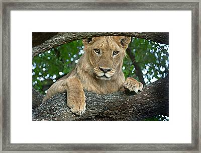 Close-up Of A Lion, Lake Manyara Framed Print by Panoramic Images