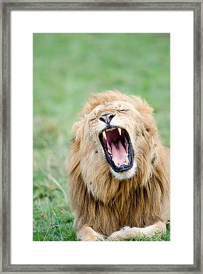 Close-up Of A Lion Panthera Leo Framed Print by Panoramic Images