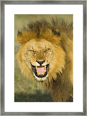 Close-up Of A Lion Roaring, Ngorongoro Framed Print by Panoramic Images
