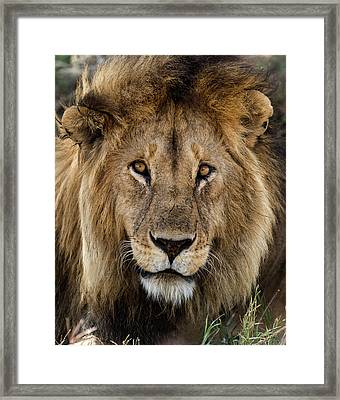 Close-up Of A Lion, Serengeti Framed Print by Life On White