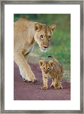 Close-up Of A Lioness And Her Cub Framed Print