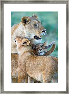 Close-up Of A Lioness And Her Two Cubs Framed Print