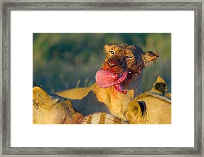 Close-up Of A Lioness Eating A Zebra Framed Print