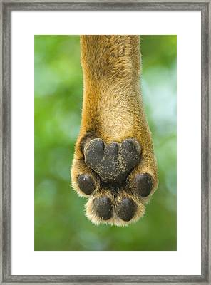 Close-up Of A Lions Paw, Lake Manyara Framed Print by Panoramic Images