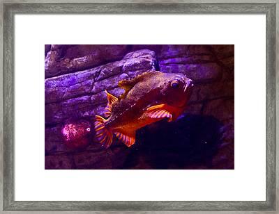 Close Up Of A Lumpfish Framed Print by Eti Reid