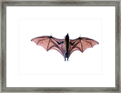 Close-up Of A Madagascan Flying Fox Framed Print