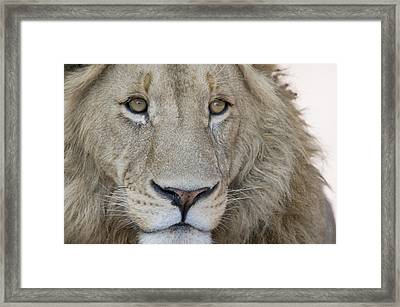 Close-up Of A Male Lion Panthera Leo Framed Print by Panoramic Images