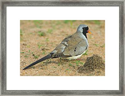 Close-up Of A Namaqua Dove, Tarangire Framed Print by Panoramic Images