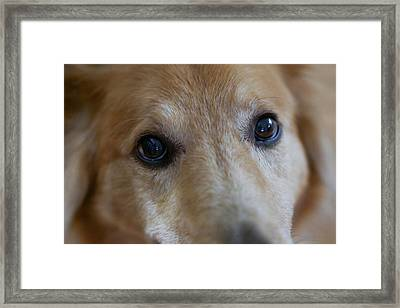 Close Up Of A Pet Dogs Eyes Framed Print