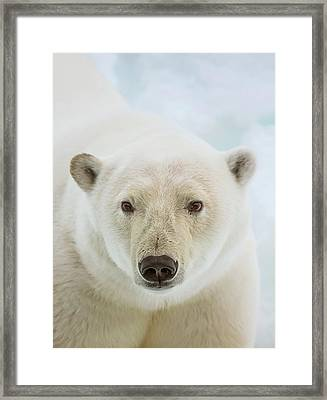 Close Up Of A Polar Bears Head Framed Print