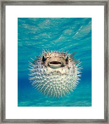 Close-up Of A Puffer Fish, Bahamas Framed Print by Panoramic Images