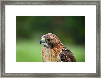 Close-up Of A Red-tailed Hawk Buteo Framed Print