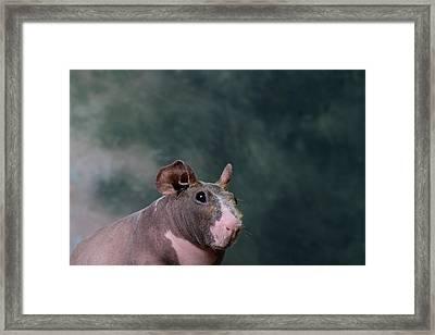 Close-up Of A Skinny Pig Framed Print