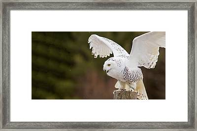 Close-up Of A Snowy Owl Bubo Scandiacus Framed Print