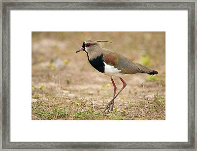 Close-up Of A Southern Lapwing Vanellus Framed Print