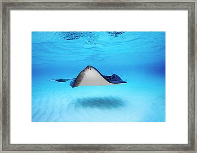 Close-up Of A Southern Stingray Framed Print