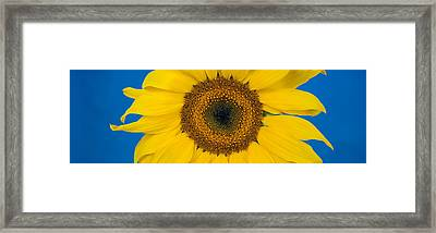 Close-up Of A Sunflower Helianthus Framed Print by Panoramic Images