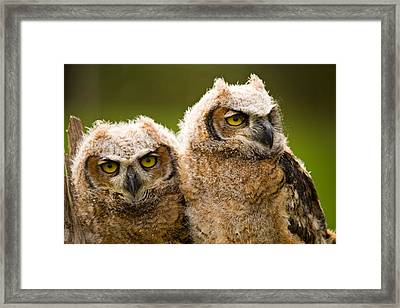 Close-up Of A Two Great Horned Owlets Framed Print by Panoramic Images