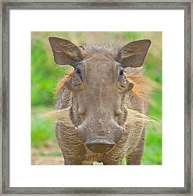 Close-up Of A Warthog, Lake Manyara Framed Print
