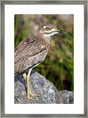 Close-up Of A Water Thick-knee Burhinus Framed Print