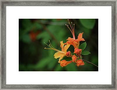 Close Up Of A Wild Flame Azalea Framed Print