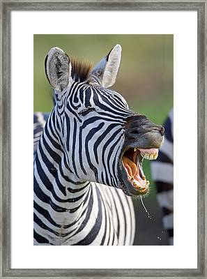 Close-up Of A Zebra Calling, Ngorongoro Framed Print