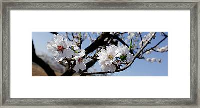 Close-up Of Almond Flowers, Vinaros Framed Print by Panoramic Images