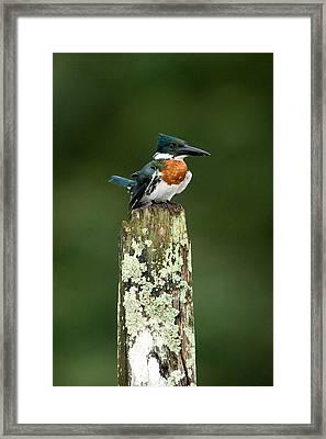 Close-up Of Amazon Kingfisher Framed Print