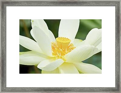 Close-up Of American Lotus Nelumbo Framed Print