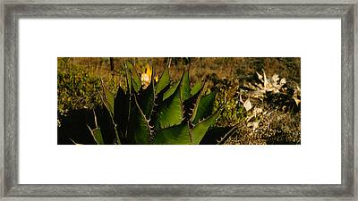 Close-up Of An Aloe Vera Plant, Baja Framed Print by Panoramic Images