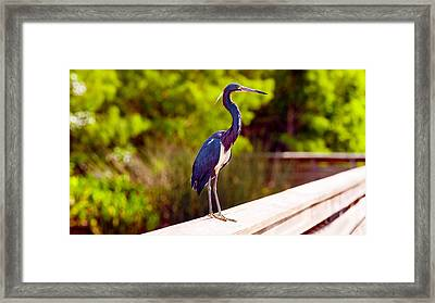 Close-up Of An Blue Egret, Boynton Framed Print by Panoramic Images
