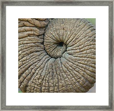 Close-up Of An Elephant Trunk Framed Print by Panoramic Images