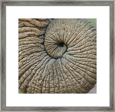 Close-up Of An Elephant Trunk Framed Print