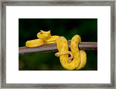 Close-up Of An Eyelash Viper Framed Print by Panoramic Images