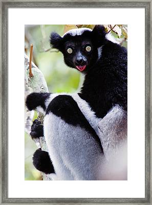 Close-up Of An Indri Lemur Indri Indri Framed Print by Panoramic Images