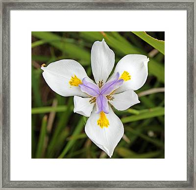 Close Up Of An Iris Framed Print by Anonymous