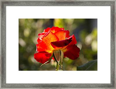 Close-up Of An Orange Rose, Los Framed Print