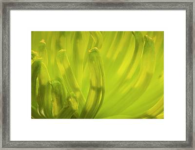 Close-up Of Backlit Chrysanthemum Flower Framed Print by Rona Schwarz