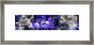 Close-up Of Bearded Iris Plant Framed Print by Panoramic Images