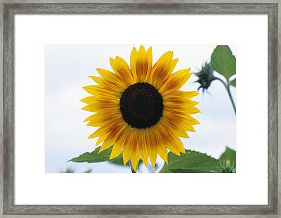 Close-up Of Blooming Sunflower Framed Print