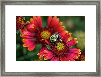 Close-up Of Bumblebee With Pollen Framed Print
