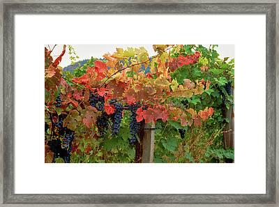 Close-up Of Cabernet Sauvignon Grapes Framed Print