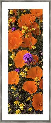 Close-up Of California Poppy Framed Print by Panoramic Images